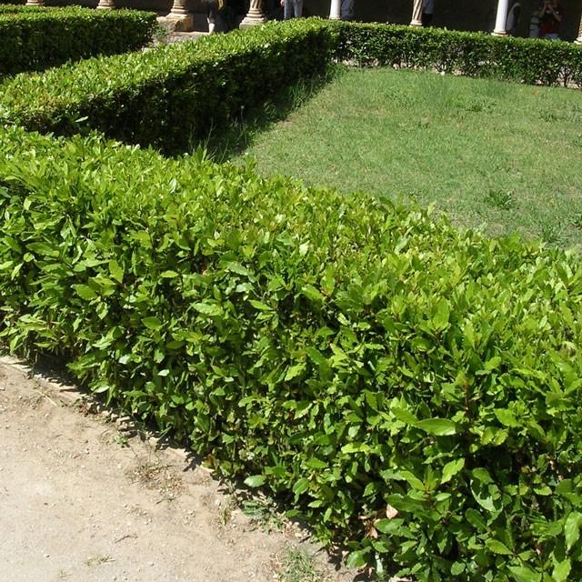 Vendita online laurus nobilis alloro for Piante sempreverdi per giardino